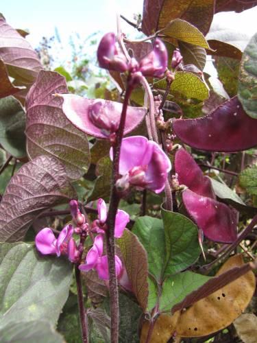 Продам семена долихоса -  5гр  за 6 штук 441686823