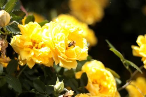 Желтый шиповник капуцинская роза