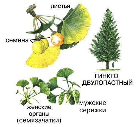 Листья Гинкго Билоба от гипертонии - m 64